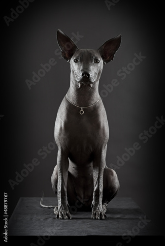 Mexican hairless xoloitzcuintle