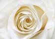 canvas print picture - white rose