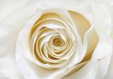 Fototapeta white rose