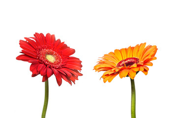Two flowers of  gerbera