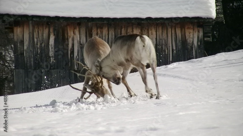 stunning reindeer fight first part