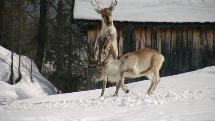 stunning reindeer fight second part