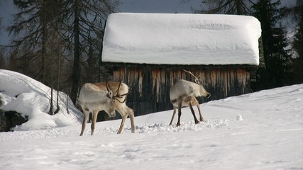 couple of raindeers scratching in a funny way
