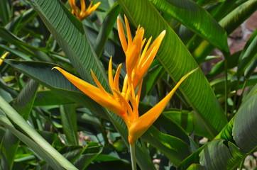 Beautiful Heliconia flower blooming in vivid colours