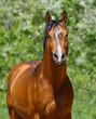 Bay stallion of Ukrainian riding breed