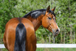Fototapeten,zuchthengst,ukrainisch,kopf,pferd