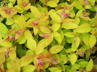 "Spring leafs spirea ""Golden Princess"""
