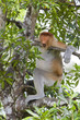 A proboscis monkey in a tree, Sandakan.