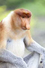 A proboscis monkey sat down, Sandakan.