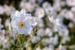 Japanese Anemones - Autumn white flowers