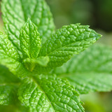 Mint Plant - Tea and herb, Square compositon
