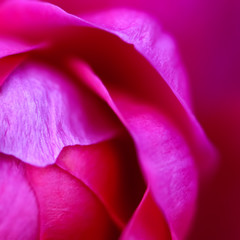 Macro - Hot pink rose, square composition