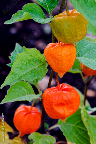 Chinese lanterns - Physalis alkelengi