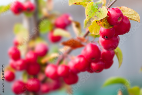 Crab-apple - Malus - Red sentinel