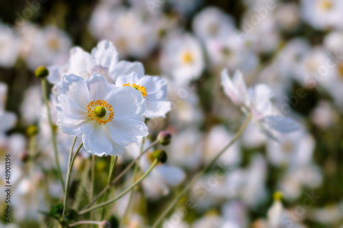 Japanese Anemones - Autumn white flowers