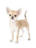 Stacking purebred chihuahua puppy on white background