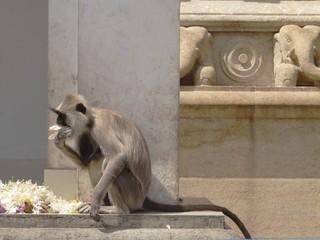 Gray langur or Hanuman langur a black faced monkey