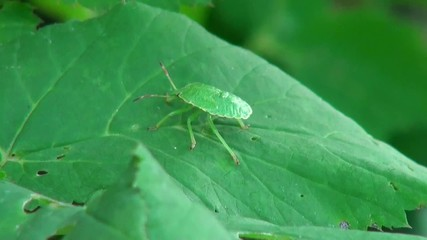 green beetle on a green leaf