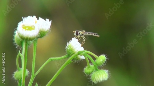 Small wasp like a dragonfly