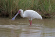 African Spoonbill wading in shallow water; Platalea alba