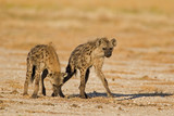 Two Spotted hyenas in open field; Crocuta crocuta
