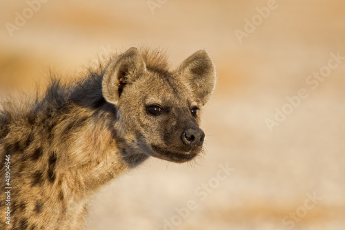 Papiers peints Hyène Portrait of Spotted Hyena; Crocuta crocuta