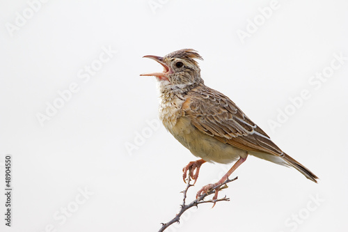 Close-up of Rufous-naped lark; Mirafra africana