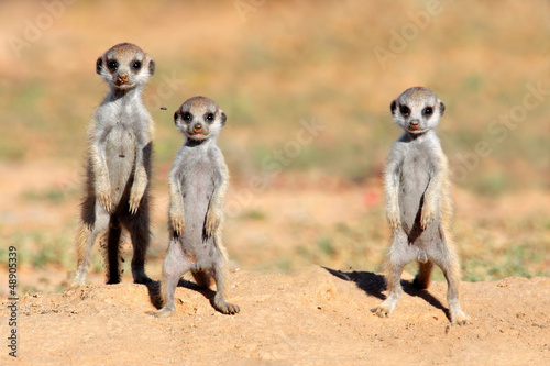 Cute meerkat babies, Kalahari desert