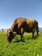 Fototapeten,bavaria,alpen,kühe,berg