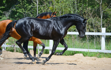 Black stallion and bay stallion gallop on manege