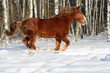 Red heavy horse runs gallop in winter