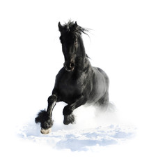 Black horse runs gallop in winter on the white