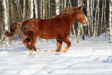 Red heavy horse runs gallop in winter