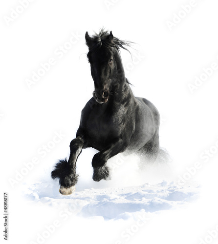 Black horse runs gallop in winter on the white