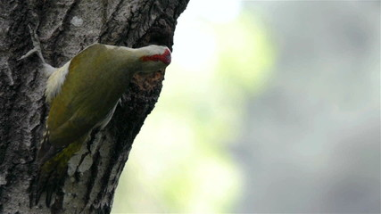 Green woodpecker (Picus viridis) feeding chick at nest