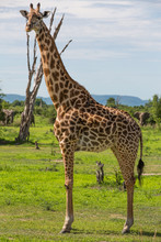 Giraffe in Africa, Zambia