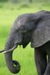 Elephant in Zambia, Africa safari