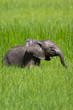 Baby elephant calf in water