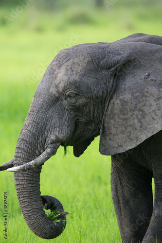 Elephant in Zambia, Africa safari