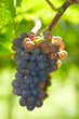 Rote Weinrebe im Herbst