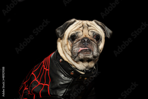 Old Pug in Leather