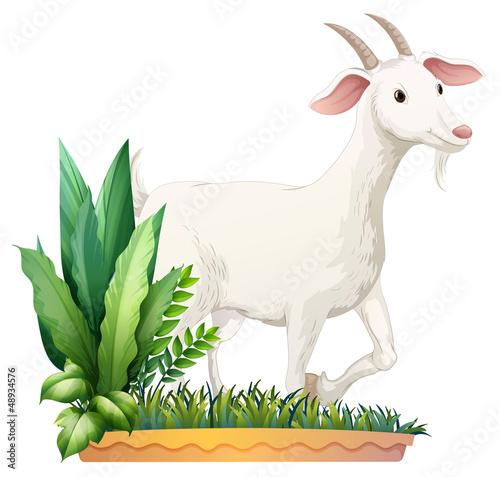 Foto op Canvas Boerderij A white goat