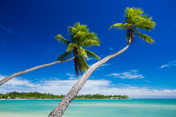 Coconut palm trees hanging over stunning green lagoon