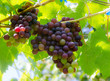 grape on tree