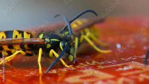 macro view on wasp eating honey