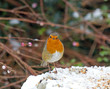 European Robin in snow