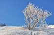 arbuste recouvert de neige