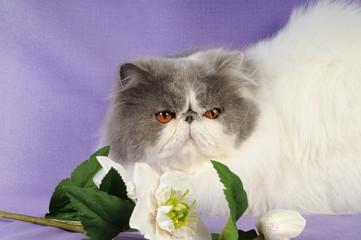 Persiano van blu e bianco con fiore