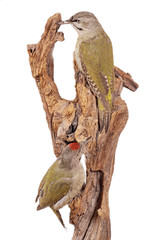 Grauspecht (Picus canus)