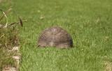 Tortoise in Kirstenbosch Garden poster